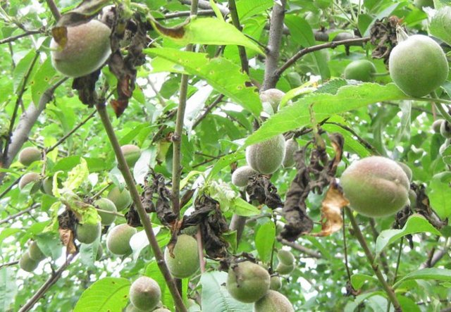 Болезни абрикоса: какие бывают, когда начинать лечение, как проводить обработку дерева