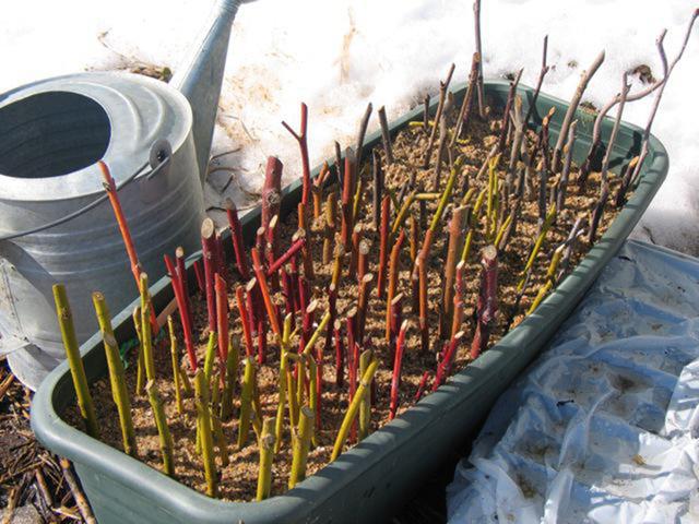 Размножение крыжовника: отводками, черенками, ветками, семенами и делением куста