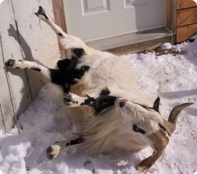Обморочные козы: фото, причины обмороков, стандарты породы, содержание, отзывы
