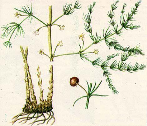 Сорта спаржи: ранние, средние, поздние, декоративные виды растения