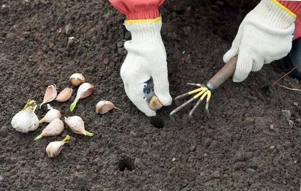 Чеснок: посадка и уход в открытом грунте, инструкция по обработке, сбор и хранение урожая
