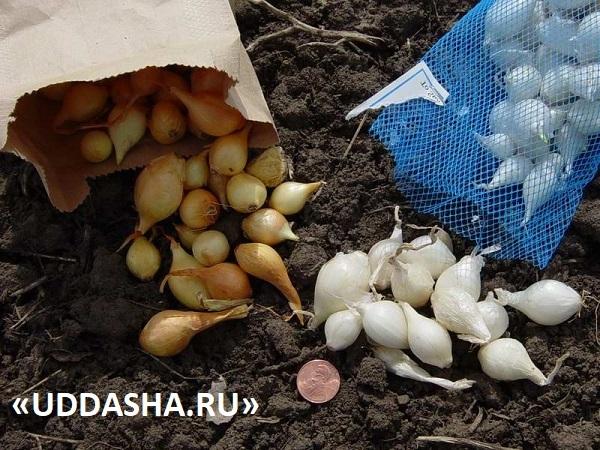 Посадка лука весной: сроки, сорта, подготовка, схема посева