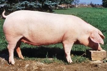 Порода свиней Ландрас: описание с фото, содержание и кормление, отзывы