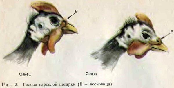 Цесарки: как отличить самку от самца