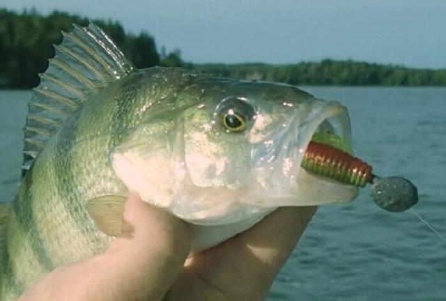 Рыба судак: описание, фото, образ жизни, ловля, разведение и выращивание