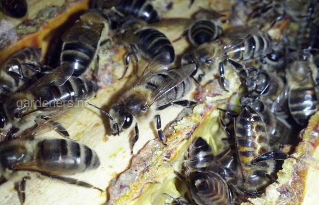 Серая горная кавказская пчела: описание, советы по уходу, плюсы и минусы