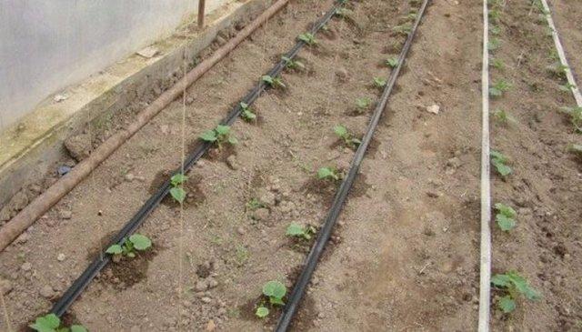 Огурец Герман: описание сорта, правила посадки и ухода за кустом, сбор урожая