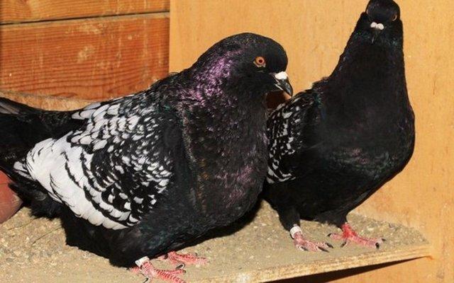 Содержание голубей в домашних условиях : кормление, условия, уход, разведение и здоровье