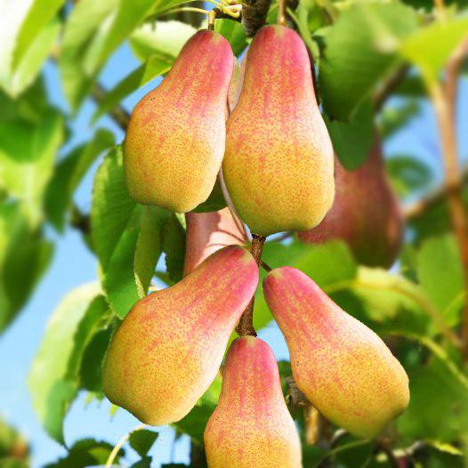 Колоновидная груша: сорта, посадка, уход и размножения