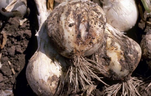 Болезни и вредители лука репчатого