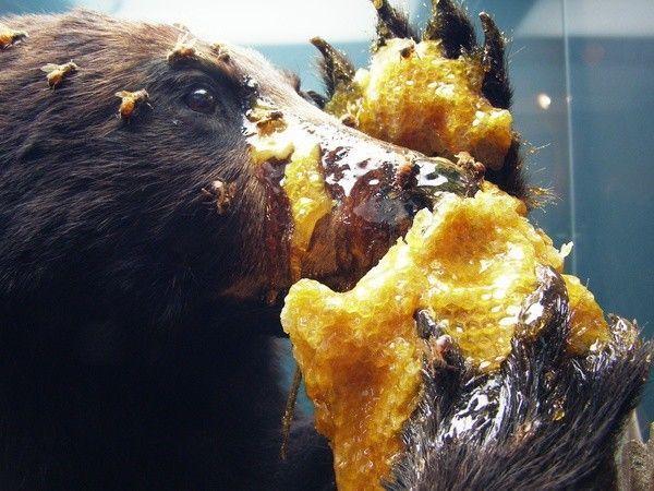 Среднерусская порода пчел: описание, правила содержания, отзывы