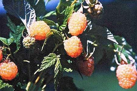 Белая малина: лучшие сорта, описание, фото, особенности ухода