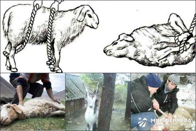 Забой цесарок: подготовка, инструменты и пошаговые инструкции