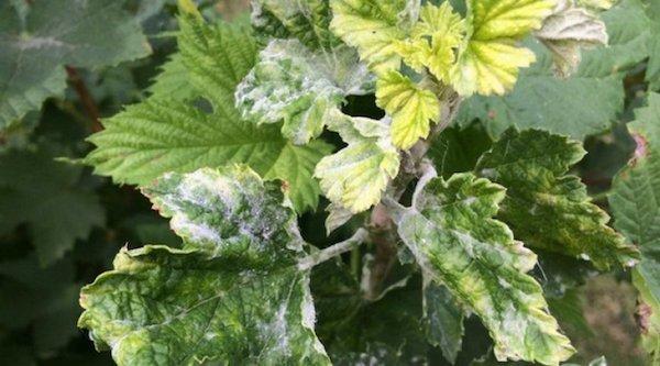 Уход за смородиной весной: полив, подкормка, обрезка, мульчирование, борьба с вредителями