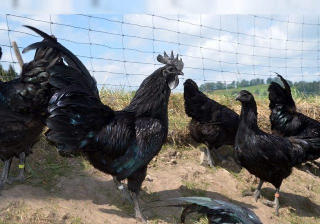 Куры Аям Цемани: описание, фото, содержание, уход, отзывы