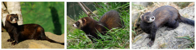 Лесной хорек: описание, фото и образ жизни животного