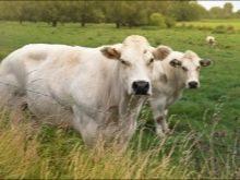 Голштино-фризская порода коров: характеристики, уход и содержание, фото, отзывы фермеров