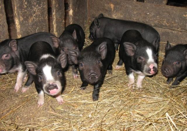 Вьетнамские свиньи: описание породы, фото, содержание, питание, разведение