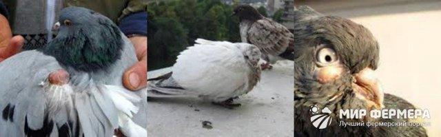 Болезни голубей: симптомы, лечение, прогнозы и профилактика