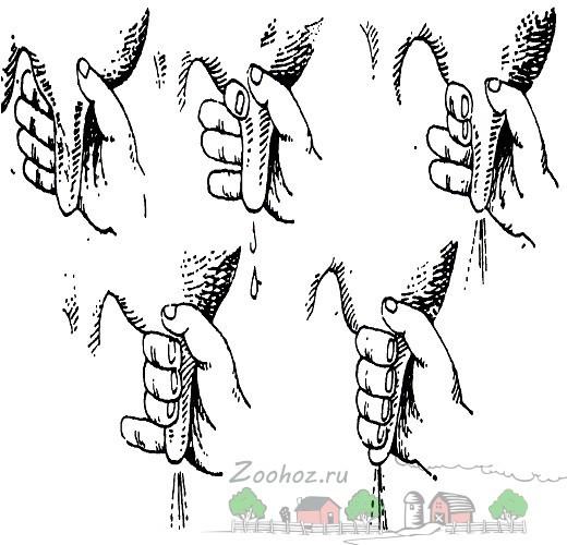Как доить корову: правила ручной и аппаратной дойки, пошаговые инструкции