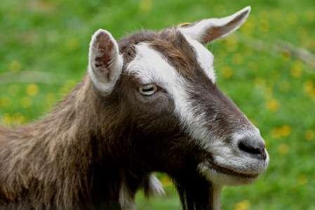 Тоггенбургская порода коз: описание с фото, уход и содержание, разведение, отзывы