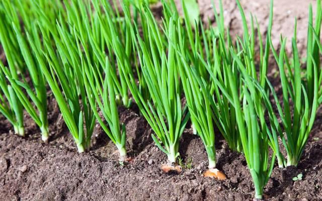 Подкормка лука на перо: правила и способы внесения удобрений