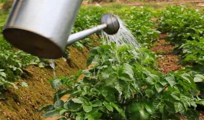 Картофель Рокко: описание сорта, фото, посадка, выращивание, сбор и хранение урожая