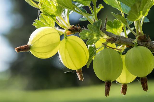 Уход за крыжовником весной: полив, подкормка, обрезка, пересадка, размножение, ошибки садоводов