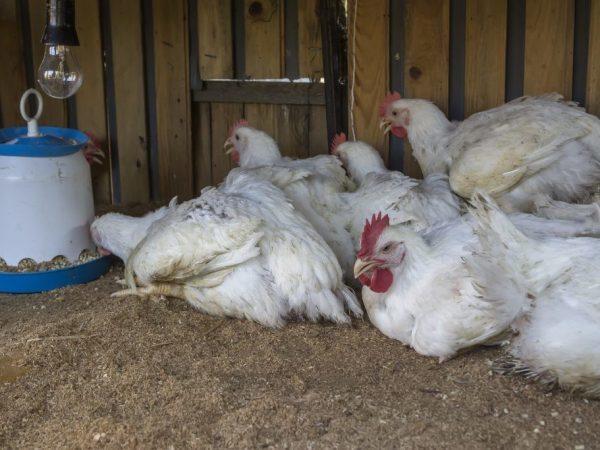 Глисты у кур: причины и пути заражения, симптомы, лечение, профилактика