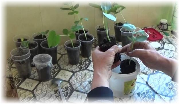 Прививка арбуза на тыкву: методы, инструменты, советы, уход за растением