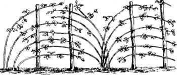 Посадка малины осенью: сроки, способы, этапы и уход