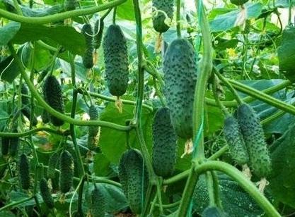 Огурец Седрик: описание, фото, выращивание, отзывы огородников