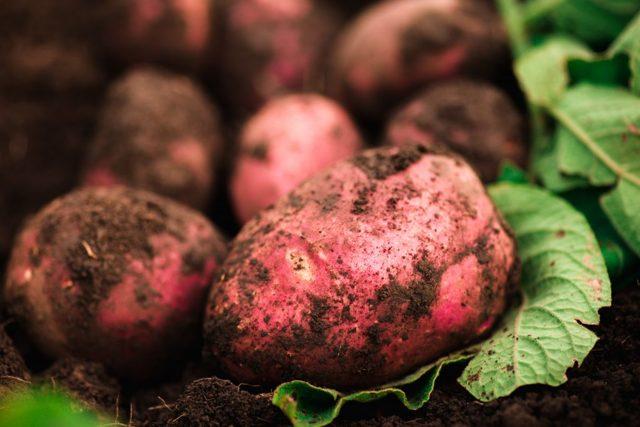 Картофель сорта Беллароза: описание, фото, достоинства и недостатки, выращивание