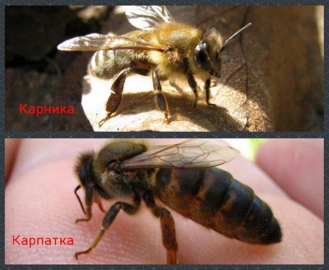 Краинская пчела: описание, виды, продуктивность, достоинства и недостатки