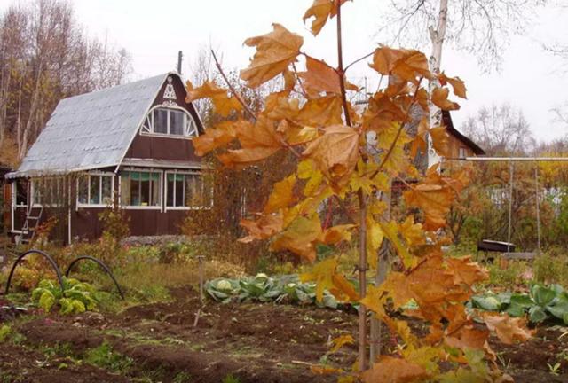 Укроп: посадка и уход в открытом грунте