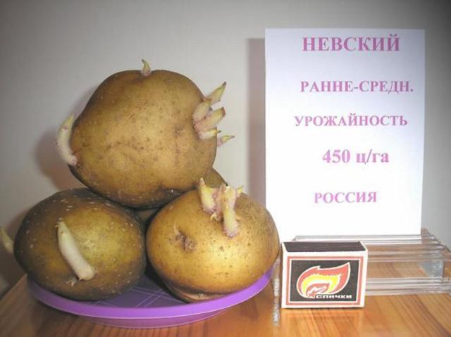 Картофель Невский: описание и характеристики сорта, фото, посадка и выращивание