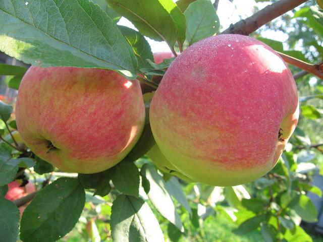Сорта яблонь для Сибири: фото, названия, описание