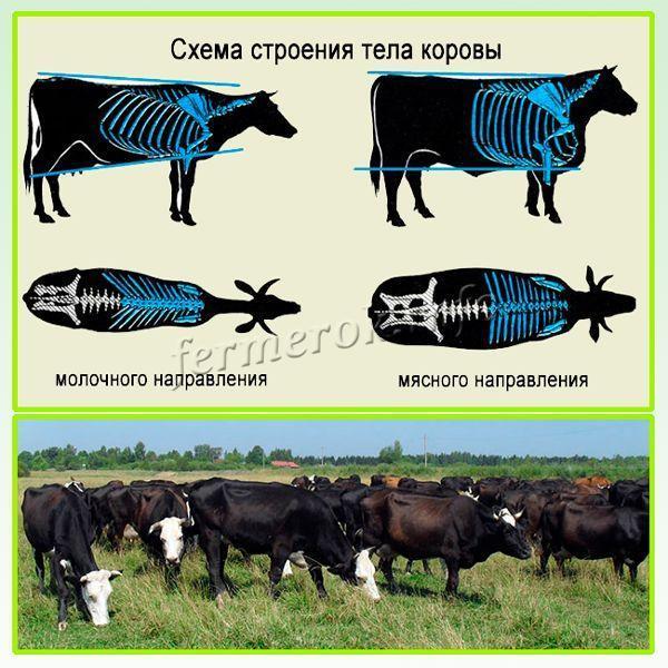 Ярославская порода коров: описание с фото, продуктивность, уход, содержание и разведение
