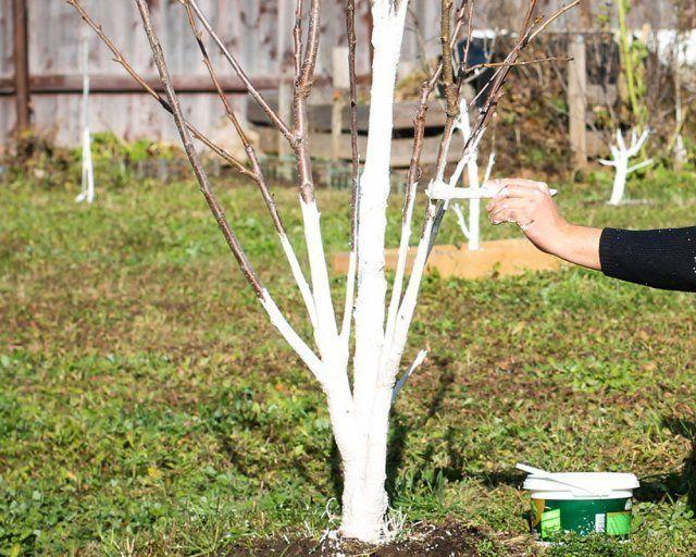 Побелка яблонь: инструкция, подготовка, составы