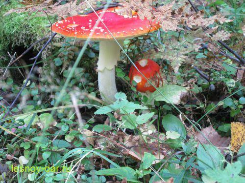 Мухомор: описание гриба, его виды и применение. Можно ли есть мухоморы?