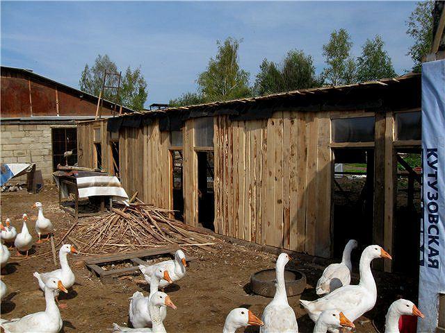 Сарай для гусей своими руками: пошаговые инструкции и обустройство