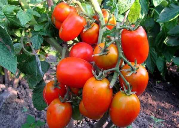 Самые сладкие сорта томатов для выращивания в открытом грунте и теплице