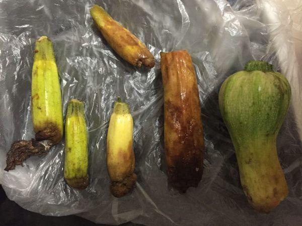 Гниют завязи кабачков: причины, меры по защите урожая