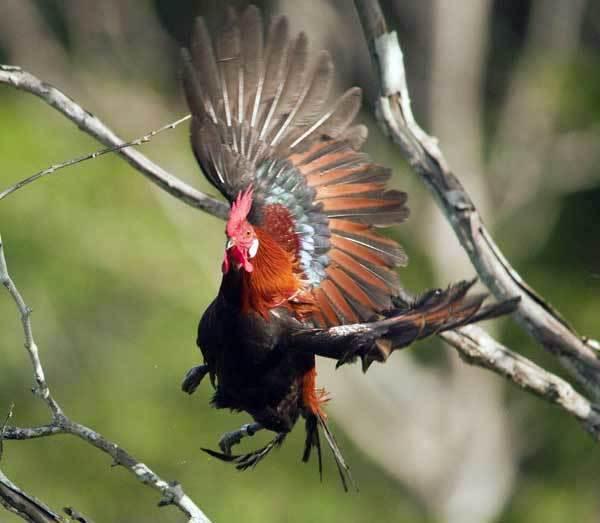 Сколько живут курица и петух в зависимости от направления, породы, ухода, кормления и т.п.