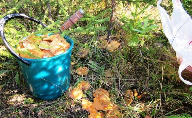 Грибы петушки (курочки): описание, фото, можно ли есть, где растут и как выращивать?