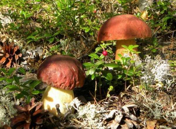 Белый гриб: как его опознать, съедобность, где растет, виды, виды, выращивание