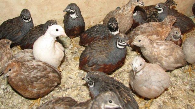 Китайский расписной перепел: описание породы, фото, содержание и кормление птицы