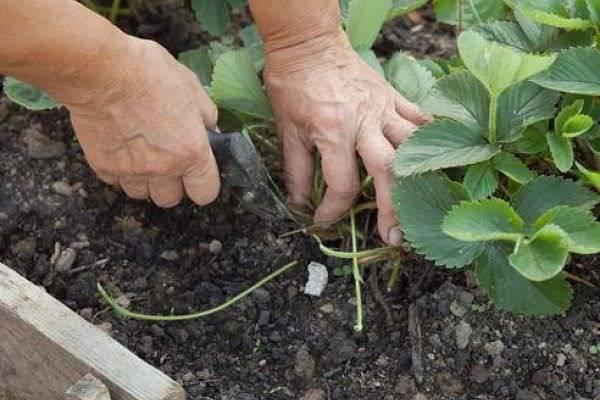 Клубника Эльсанта: описание сорта, фото, отзывы садоводов, правила посадки и ухода