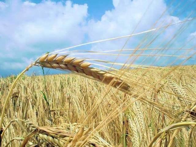 Яровая рожь: особенности посадки, выращивания и ухода