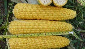 Сорта кукурузы: ТОП-лучших сортов с их описание и фото